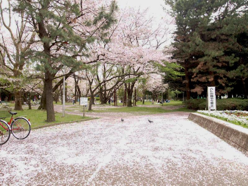桜じゅうたん