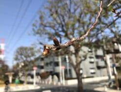 しおかぜ緑道桜開花寸前